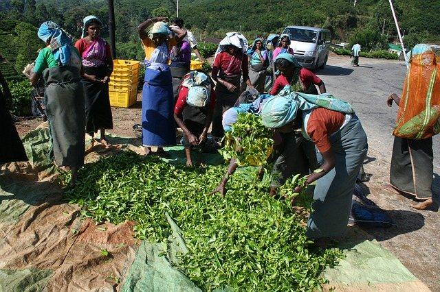 Сборщики чая. Шри-Ланка