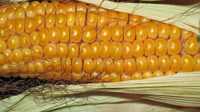 Старая кукуруза